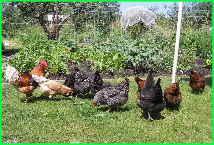 tanaman buat ayam, tanaman untuk pakan ayam, tanaman obat untuk ayam, tanaman herbal untuk ayam petelur, tanaman buat ayam aduan, tanaman buat ayam, tanaman kesukaan ayam, tanaman kandang ayam, tanaman makanan ayam, manfaat tanaman kunci untuk ayam aduan, tanaman untuk pakan ayam petelur, jenis tanaman untuk pakan ayam, tanaman penggemuk ayam