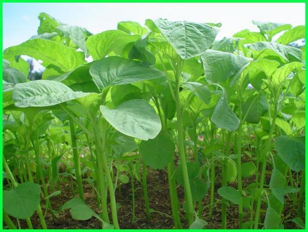 manfaat bayam buat ayam, tanaman kesukaan ayam, tanaman makanan ayam, tanaman obat ayam ngorok, tanaman obat ayam, tanaman obat ayam sakit tanaman pakan ayam, tanaman penggemuk ayam, tanaman yang bagus untuk pakan ayam