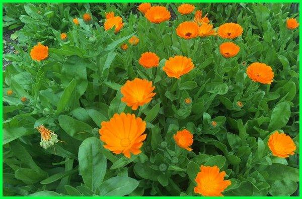 tanaman untuk obat ayam, jenis tanaman obat ayam, tanaman penangkal penyakit ayam, tanaman untuk stamina ayam