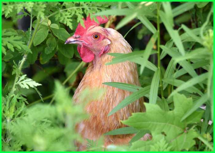 tanaman untuk pakan ayam, tanaman herbal untuk ayam petelur, tanaman buat ayam aduan, tanaman yang bagus untuk ayam bangkok, tanaman makanan ayam, jenis tanaman untuk pakan ayam