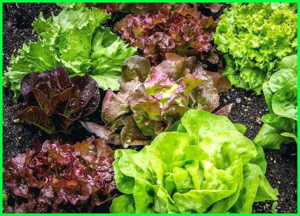 tanaman yang bagus untuk pakan ayam, tanaman kesukaan ayam, tanaman makanan ayam, tanaman obat ayam ngorok, tanaman obat ayam, tanaman obat ayam sakit tanaman pakan ayam, tanaman penggemuk ayam