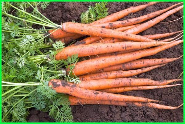 tanaman kesukaan ayam, tanaman makanan ayam, tanaman obat ayam ngorok, tanaman obat ayam, tanaman obat ayam sakit tanaman pakan ayam, tanaman penggemuk ayam, tanaman yang bagus untuk pakan ayam
