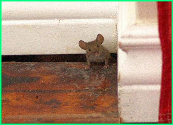 cara nak halau tikus masuk rumah, cara mencegah tikus masuk ke rumah, cara membuat tikus kapok masuk rumah, cara mengusir tikus agar tidak masuk rumah lagi, cara menghindari tikus masuk rumah, cara mengusir tikus yang masuk rumah, cara mencegah tikus tidak masuk rumah, cara supaya tikus tidak masuk rumah, cara tikus tidak masuk rumah, cara mengatasi tikus yang masuk rumah