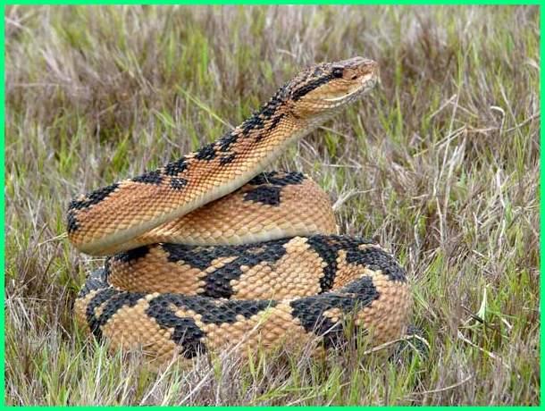 reptil terbesar di dunia, reptil terbesar sepanjang sejarah, reptil terbesar di indonesia, reptil terbesar legendaris