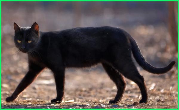 apa makna kucing hitam, pertanda apa kucing hitam, benarkah-kucing-hitam-pembawa-sial, apa bahasa inggrisnya kucing hitam mati, apakah kucing hitam boleh dipelihara, apakah kucing hitam jelmaan setan, apakah boleh memelihara kucing hitam, tanda kucing hitam masuk rumah, tanda kucing hitam di depan rumah, tanda kucing hitam mengeong, tanda kucing hitam melintas, benarkah kucing hitam pembawa sial