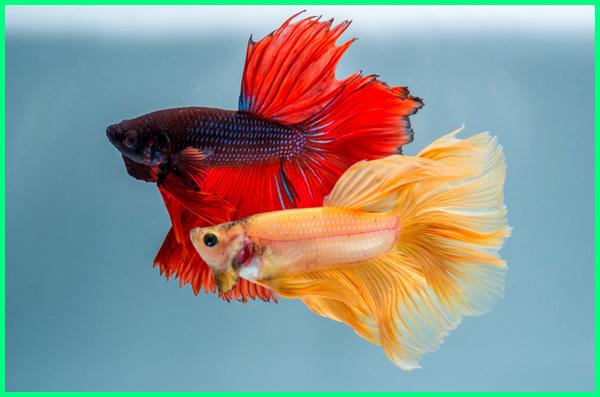 Bisakah Ikan Cupang Disatukan Atau Dicampur Bisa Begini Aturannya Dunia Fauna Hewan Binatang Tumbuhan Dunia Fauna Hewan Binatang Tumbuhan