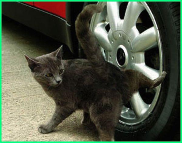cara melatih kucing untuk buang air di toilet, cara untuk melatih kucing, cara melatih kucing poop di wc, cara melatih anak kucing buang air di wc, cara melatih kucing agar tidak pipis sembarangan, cara melatih kucing pipis di pasir, cara melatih kucing pipis di toilet, cara melatih kucing pipis di kamar mandi