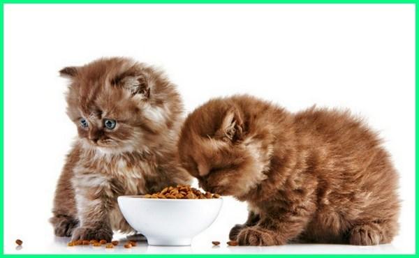 makanan kucing kering, makanan kucing kering kitten, makanan kucing kering bagus, kucing muntah makanan kering, kucing bosan makanan kering, cara melatih anak kucing makan kering, anak kucing makan makanan kering, kucing ga mau makan makanan kering, kucing tidak mau makan makanan kering, mengajari kucing makan makanan kering, makanan kucing yang kering