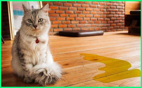cara melatih kucing buang air di toilet, cara melatih kucing buang air kecil, cara melatih kucing kampung buang air di toilet, cara melatih kucing pipis di kamar mandi, cara melatih kucing pipis, cara melatih kucing buang air di luar rumah, cara melatih kucing untuk buang air