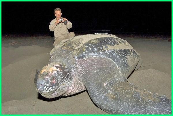 reptil terbesar di dunia, reptil terbesar legendaris, gambar reptil terbesar, foto reptil terbesar di dunia, jenis reptil terbesar di dunia, hewan reptil terbesar, hewan reptil terbesar di dunia