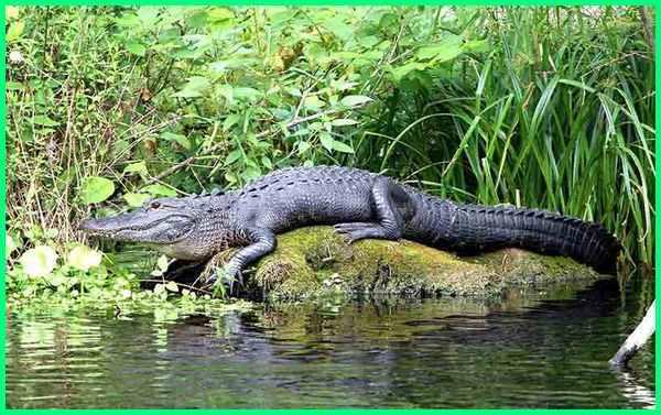 gambar fauna reptil, gambar gambar reptil, gambar jenis reptil, gambar wallpaper reptil, 5 gambar hewan reptil