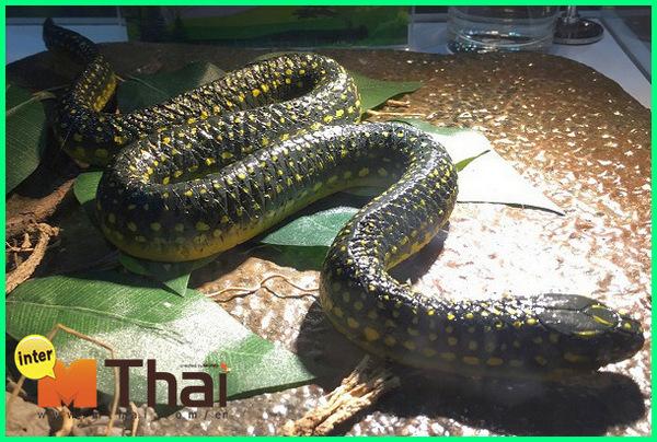 hewan endemik thailand, hewan di thailand yang berbahaya, hewan asli thailand, hewan di thailand, hewan endemik di thailand, hewan aneh di thailand, hewan berbahaya dari thailand, hewan khas dari thailand, gambar hewan khas thailand, hewan khas negara thailand, hewan di negara thailand