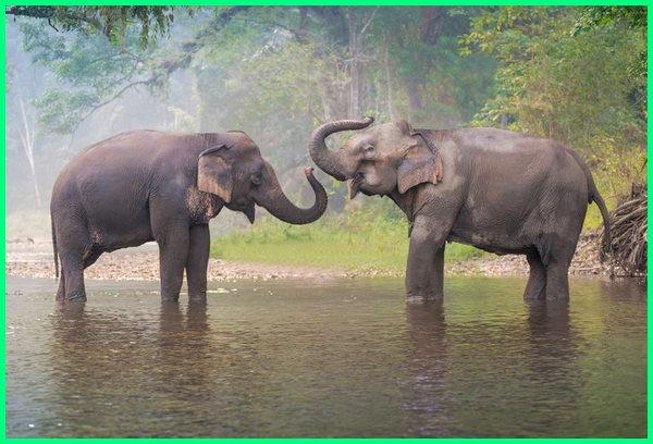 hewan khas thailand, hewan endemik thailand, hewan nasional thailand, hewan asli thailand, hewan yang terkenal di thailand adalah, hewan di thailand, hewan endemik di thailand, gambar hewan khas thailand, hewan negara thailand, hewan khas negara thailand, lambang hewan negara thailand, hewan nasional negara thailand