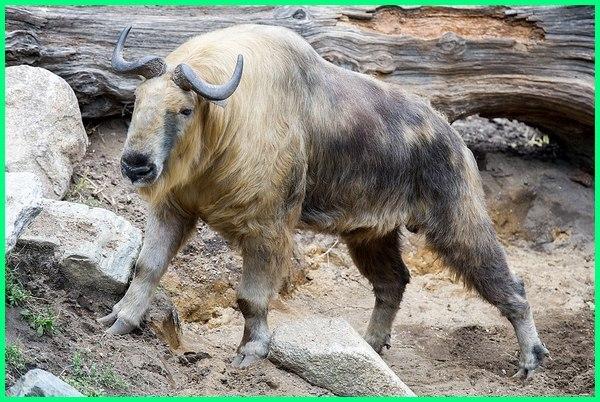 hewan nasional negara asia, hewan nasional asean, hewan nasional dan negaranya, gambar hewan nasional, hewan nasional negara di dunia, hewan satwa nasional, 10 hewan nasional