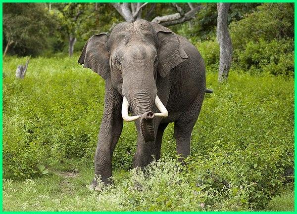 hewan endemik thailand, hewan nasional thailand, hewan asli thailand, hewan yang terkenal di thailand adalah, hewan di thailand, hewan hewan thailand, gambar hewan khas thailand, hewan khas negara thailand, lambang hewan negara thailand, hewan nasional negara thailand, hewan ciri khas negara thailand