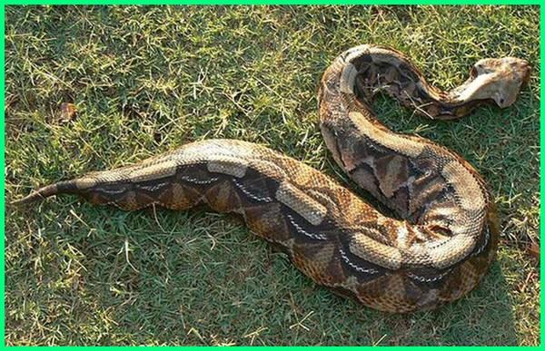 apa reptil terbesar