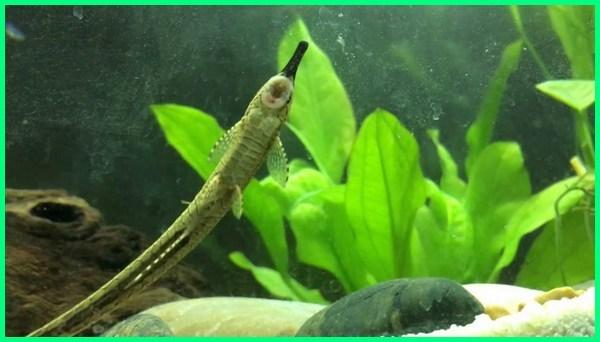 ikan pembersih kotoran, ikan pembersih kotoran aquarium, ikan pembersih akuarium, ikan pembersih kaki, ikan pembersih aquascape
