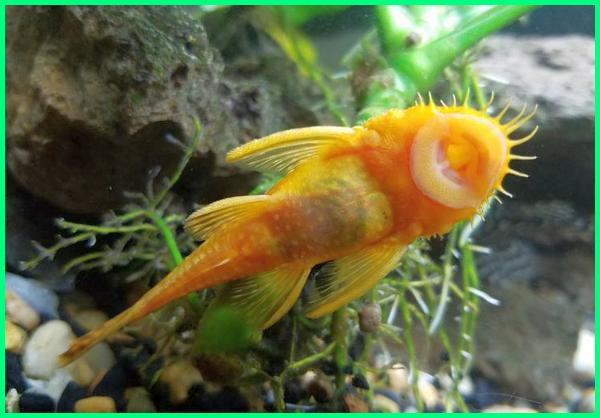ikan pembersih kaca, ikan pembersih kotoran aquarium, ikan pembersih kaca albino, ikan pembersih aquascape, ikan pembersih akuarium air laut, ikan pembersih air tawar, ikan pembersih akuarium tawar, ikan pembersih di aquarium, ikan pembersih lumut di aquarium