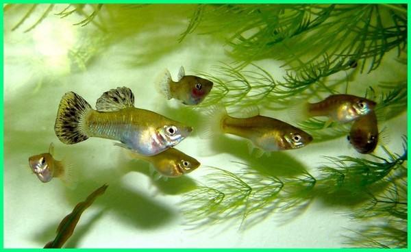 ikan pembersih lumut kaca, ikan laut pembersih lumut, ikan mirip pembersih kaca, ikan molly pembersih alga, makanan ikan pembersih kaca, nama ikan pembersih kaca, nama ikan pembersih akuarium, nama ikan pembersih lumut, ikan pembersih sungai, ikan pembersih selain sapu sapu
