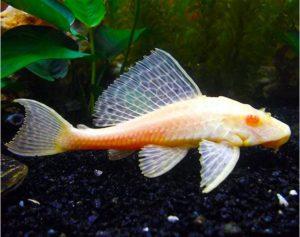 ikan pembersih kaca