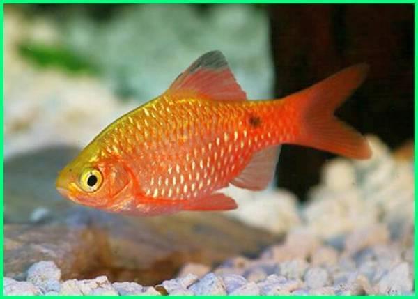 5 Ikan Yang Cocok Digabung Dengan Ikan Mas Koki Dunia Fauna Hewan Binatang Tumbuhan Dunia Fauna Hewan Binatang Tumbuhan