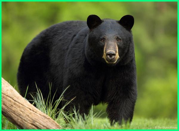 jenis beruang paling ganas, jenis beruang hitam, jenis hewan beruang, jenis jenis beruang, jenis nama beruang, jenis spesies beruang, 10 jenis beruang, 8 jenis beruang