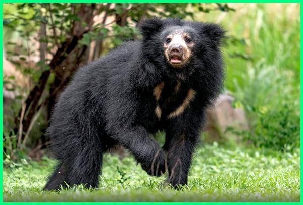 berapa jenis beruang di dunia, berbagai jenis beruang, berapa jenis beruang, jenis makanan beruang coklat, foto jenis beruang