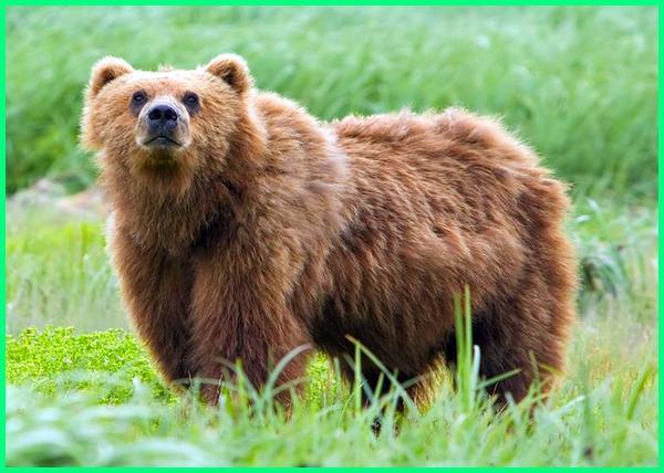 jenis jenis beruang coklat, foto jenis beruang, jenis beruang paling ganas, jenis jenis beruang, jenis nama beruang