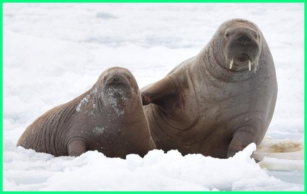 jenis mamalia air, bagaimana mamalia air bernapas jelaskan, tujuan mamalia air muncul ke permukaan, kelompok mamalia air, klasifikasi mamalia air, mamalia di air laut, pernapasan mamalia air, pengertian mamalia air, sebutkan mamalia air, 10 mamalia air