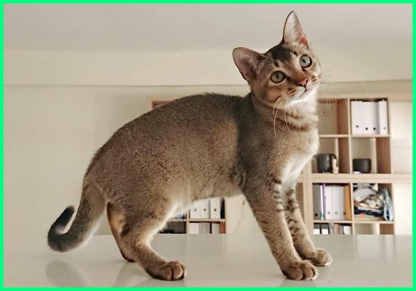 nama kucing kecil, kucing ras kecil, kucing ukuran kecil