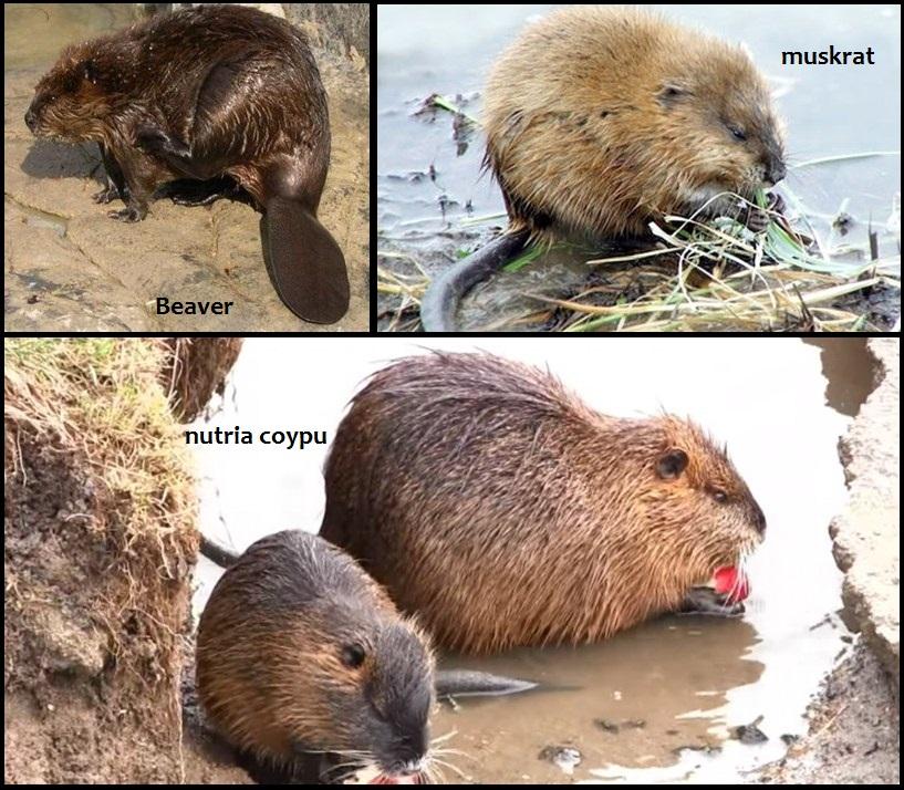 jenis mamalia air pengerat, mamalia air contohnya, mamalia air disebut, mamalia di air, mamalia dalam air binatang mamalia di air, gambar mamalia air, mamalia yang hidup air laut, mamalia yang hidup air, hewan mamalia air contohnya, hewan mamalia air yang melahirkan