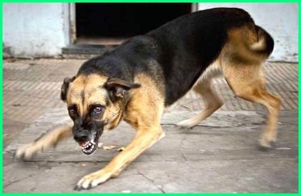 anjing menyerang satpam, anjing menyerang warga, anjing menyerang security, anjing menyerang manusia, anjing menyerang orang, anjing menyerang majikan, anjing menyerang kucing, kenapa anjing menyerang manusia