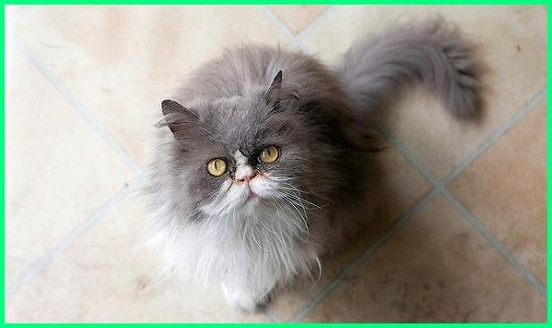 kucing persia abu abu, kucing persia abu2, kucing persia abu2 putih, kucing persia warna abu, kucing persia warna abu2, kucing persia himalaya abu abu, kucing persia abu putih