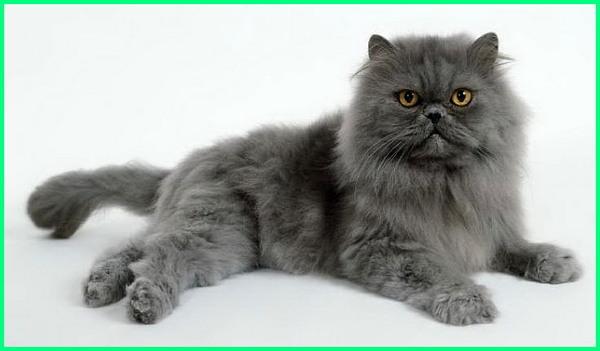 Nama Kucing Warna Abu Putih 81021 Nama Untuk Kucing Comel Lucu Dan Unik