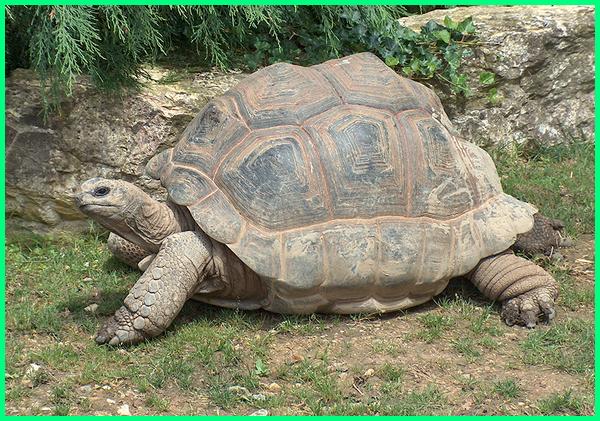 kura-kura besar di dunia, kura-kura raksasa aldabra, kura-kura raksasa adalah, kura kura brazil besar, harga kura kura brazil besar, kura kura terbesar di dunia, kura kura darat terbesar