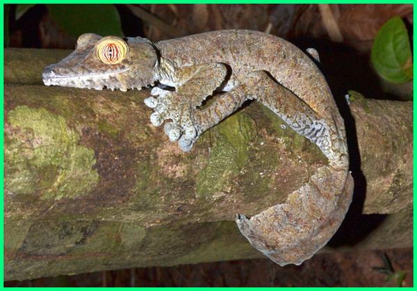 jenis reptil dan penjelasannya, jenis jenis reptil, jenis reptil kadal, jenis reptil tts, jenis reptil tokek, macam2 reptil, 3 jenis reptil, 3 jenis reptil yang termasuk karnivora herbivora dan omnivora, 5 jenis reptil