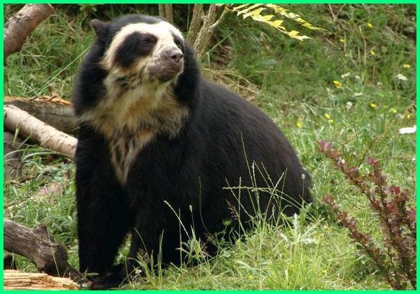 gambar macam macam beruang, macam macam beruang di dunia, macam jenis beruang, macam macam beruang madu, macam macam nama beruang