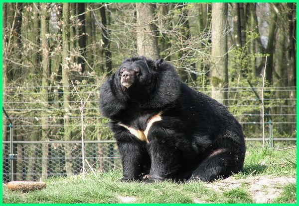jenis beruang yang ada di dunia, jenis nama beruang, semua jenis beruang
