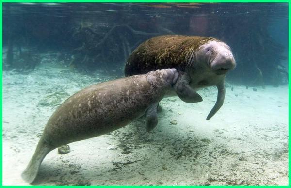 hewan mamalia air yang bernapas dengan paru-paru, hewan mamalia air dan darat, bagaimana mamalia air bernapas jelaskan, ordo mamalia air, 3 mamalia yang hidup di air, 5 hewan mamalia air, 5 contoh hewan mamalia air, mamalia air sesekali menyembul di permukaan bertujuan untuk, mamalia air seperti paus duyung dan lumba-lumba bernapas menggunakan, mamalia air yang bernapas dengan paru paru, cara mamalia air mendapatkan oksigen