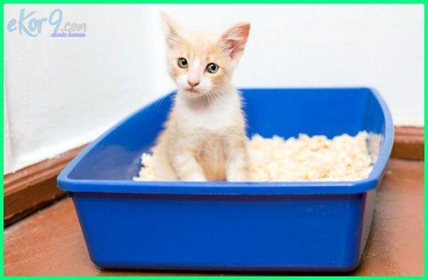 melatih kucing buang air, melatih kucing agar tidak berak sembarangan, melatih kucing agar patuh, melatih kucing buang air di toilet, cara melatih kucing pup di pasir, cara melatih kucing pup di toilet, melatih kucing dari kecil, melatih kucing dewasa pup