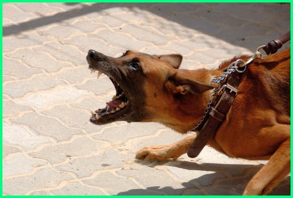kenapa anjing menyerang manusia, anjing menyerang pemiliknya, penyebab anjing menyerang, kenapa anjing menyerang tuannya, cara melatih anjing untuk menyerang, penyebab anjing menyerang