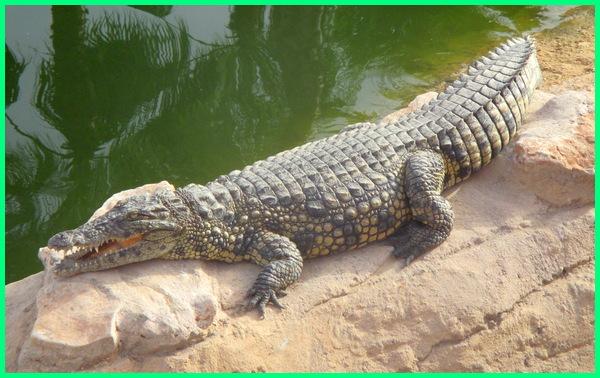 reptil terbesar legendaris, gambar reptil terbesar, foto reptil terbesar di dunia, jenis reptil terbesar di dunia