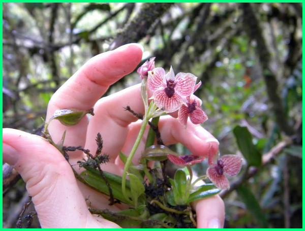 tanaman bunga baru, tanaman hias baru, tanaman jenis baru, tanaman hias jenis baru, tanaman varietas baru, tumbuhan jenis baru