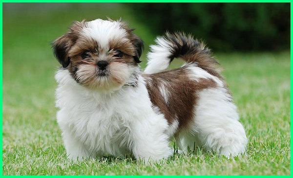 anjing shih tzu puppy, berat ideal anjing shih tzu, jenis anjing shih tzu, karakter anjing shih tzu, kelebihan anjing shih tzu, kelemahan anjing shih tzu, kesukaan anjing shih tzu, anjing shih tzu lucu