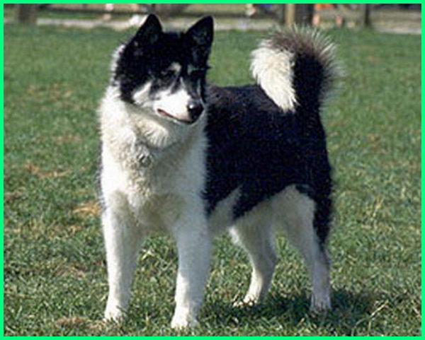 anjing kacukan serigala, anjing kyk serigala, anjing yang paling mirip serigala, anjing ras serigala, anjing yang seperti serigala, anjing serigala translate, anjing tipe serigala