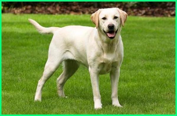 anjing labrador dewasa, anjing labrador asli, anjing labrador adalah, ciri anjing labrador asli, apakah anjing labrador galak, cari anjing labrador bali, berat anjing labrador, ciri anjing labrador cari anjing labrador, foto anjing labrador