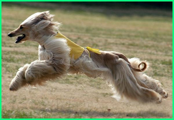 berapa kecepatan lari anjing, anjing lari tercepat, anjing lari tercepat di dunia, anjing lari cepat anjing suka lari