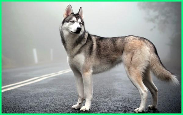 anjing atau serigala, anjing blasteran serigala, anjing bersuara serigala, anjing bunyi serigala, anjing berburu serigala, anjing berupa serigala, anjing campuran serigala, foto anjing yang mirip serigala, gambar anjing yang mirip serigalam anjing husky