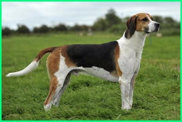 anjing pemburu bagong, anjing pemburu adalah, anjing anjing pemburu, anjing pemburu babi terbaik, anjing pemburu babi terhebat, anjing pemburu babi liar, anjing pemburu careuh, anjing pemburu.com, ciri2 anjing pemburu