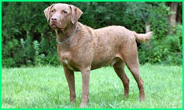 anjing pemburu babi hutan terbaik, anjing pemburu kelinci, anjing pemburu musang, anjing pemburu adalah, anjing pemburu arnab, anjing pemburu dogo argentino, anjing anjing pemburu